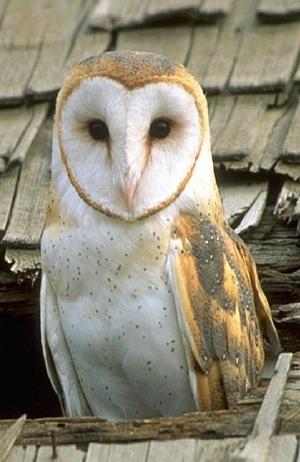جغد انبار : Barn Owl